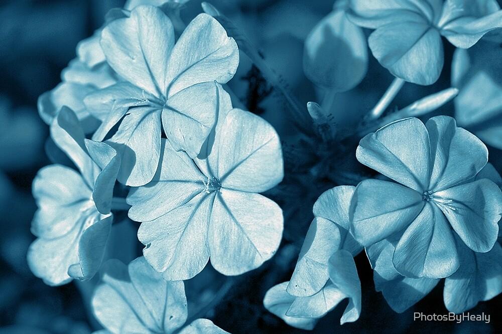 Blue Plumbago - monotone by PhotosByHealy