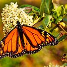 Monarch Butterfly, Mannum Falls, SA by Mark Richards