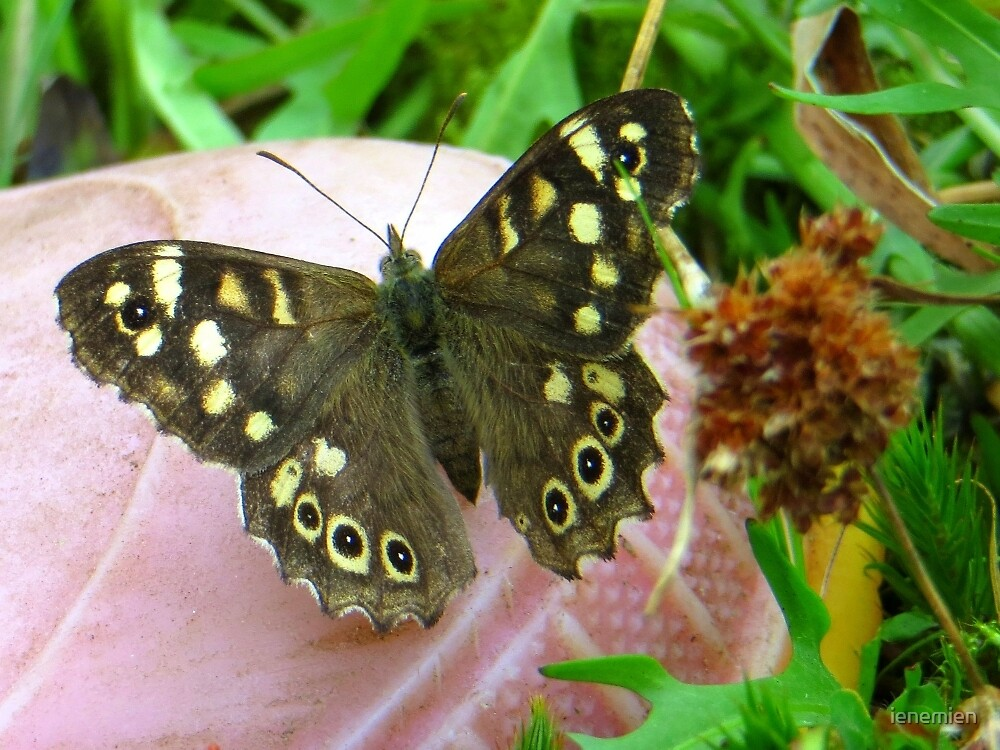 The Speckled Wood by ienemien