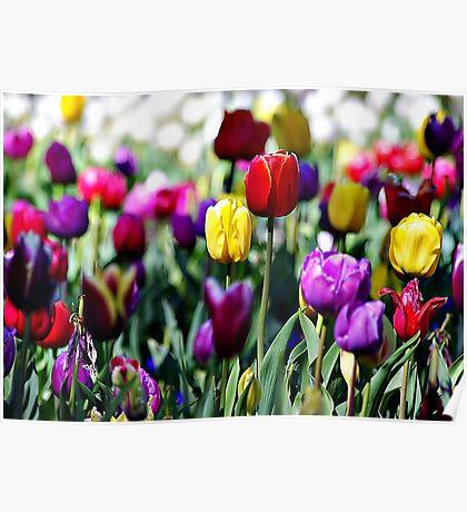 Color del Tulip Poster