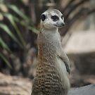 Meerkat by Nicholas Richardson