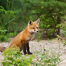 Red fox kit - Algonquin Park, Canada by Jim Cumming