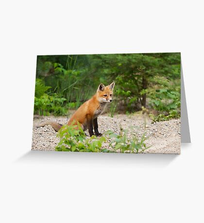 Red fox kit - Algonquin Park, Canada Greeting Card