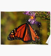 Monarch on New England Aster #2  Poster
