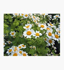Humble Daisy Photographic Print