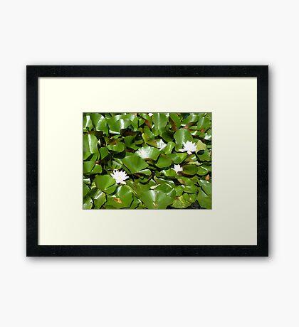 Sunshine on the lily pond Framed Print