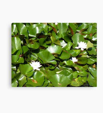 Sunshine on the lily pond Canvas Print