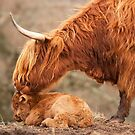 Tender Moment. Highland Cow and Calf. Isle of Skye. Scotland. by PhotosEcosse