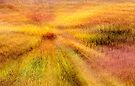 Field of Gold by Tom Vaughan