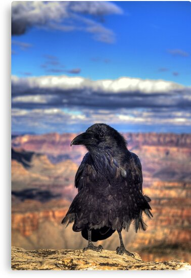 Canyon  Raven by K D Graves Photography