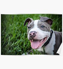 Pit Bull Puppy Smiling Poster
