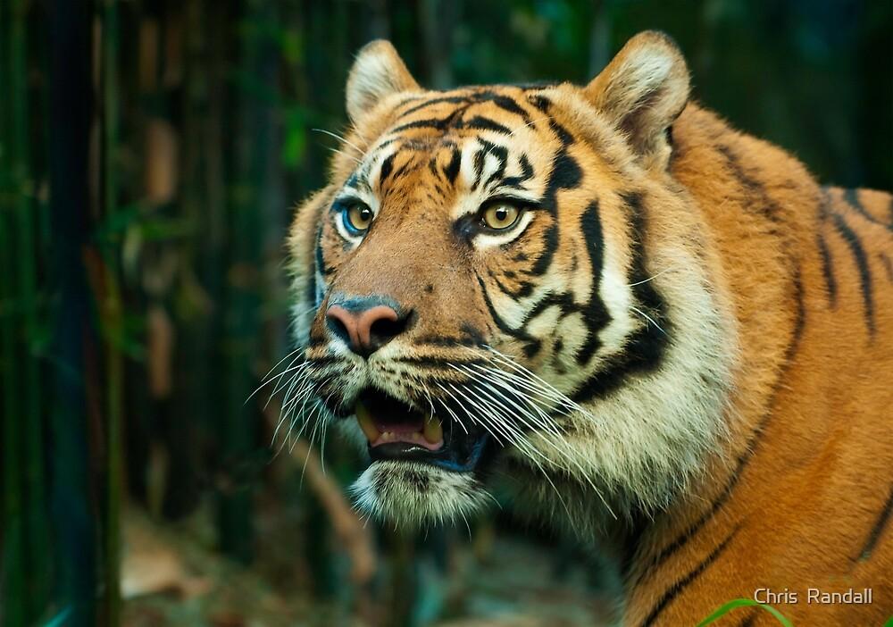 Sumatran Tiger  by Chris  Randall