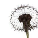Backlit Dandelion by eclectic1