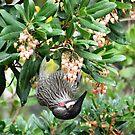 Red Wattle Bird by Deirdreb