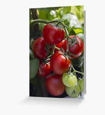 tomatoes in the garden Greeting Card