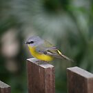 Eastern Yellow Robin by FaithAmor