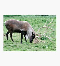 Caribou with Large Antlers Photographic Print