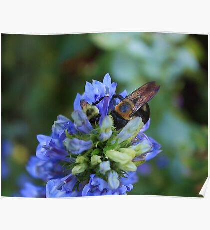 Bee on the flower photography Poster