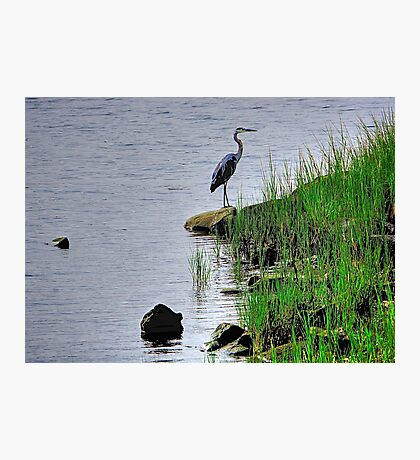Heron on the shore Photographic Print