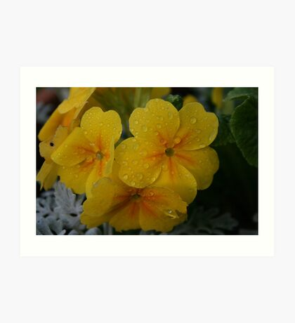 Yellow Polyanthus Art Print