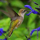 Female Ruby -Throated Hummingbird by jozi1