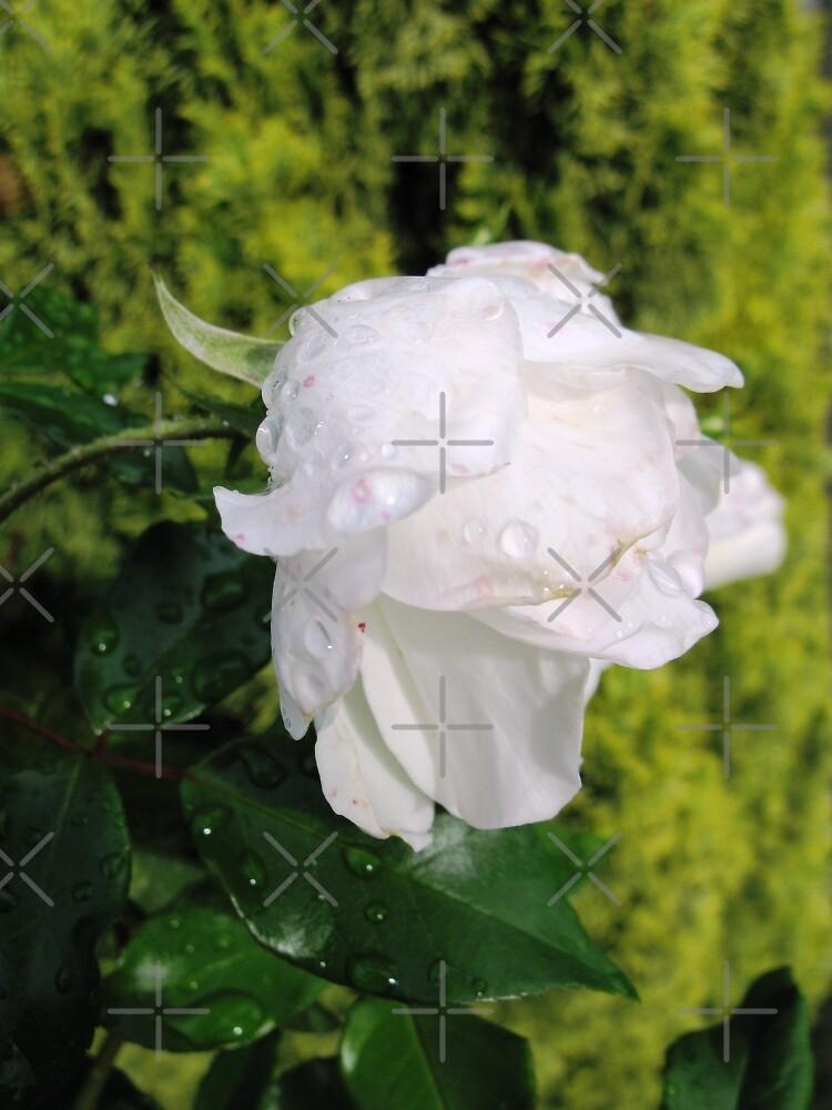 White Rose by aimznabz