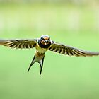 Swallow in Flight by John Dunbar