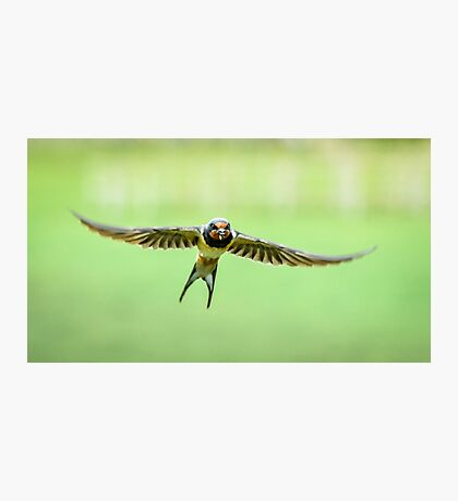 Swallow in Flight Photographic Print