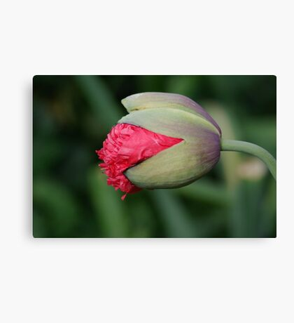 Papavar Somnifarum - The Beginning Canvas Print