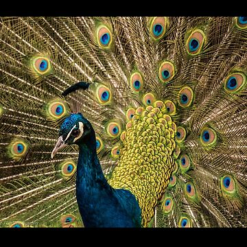 Beauty of Peacock by amazingshop
