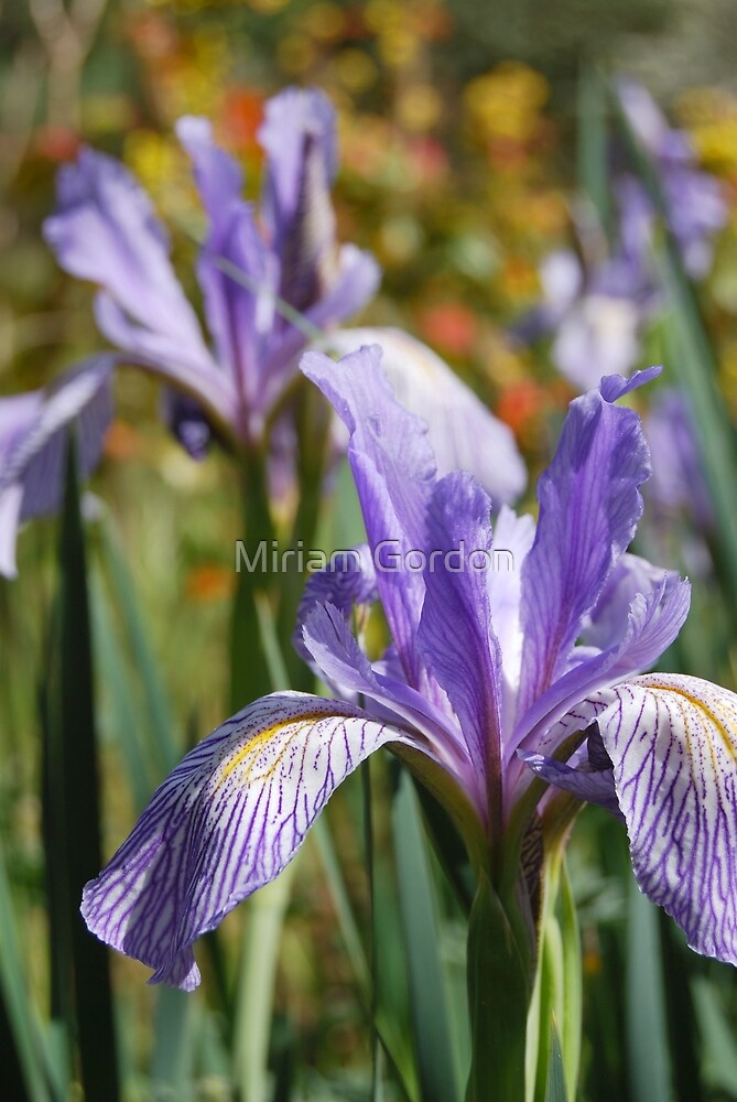 Irises by Miriam Gordon