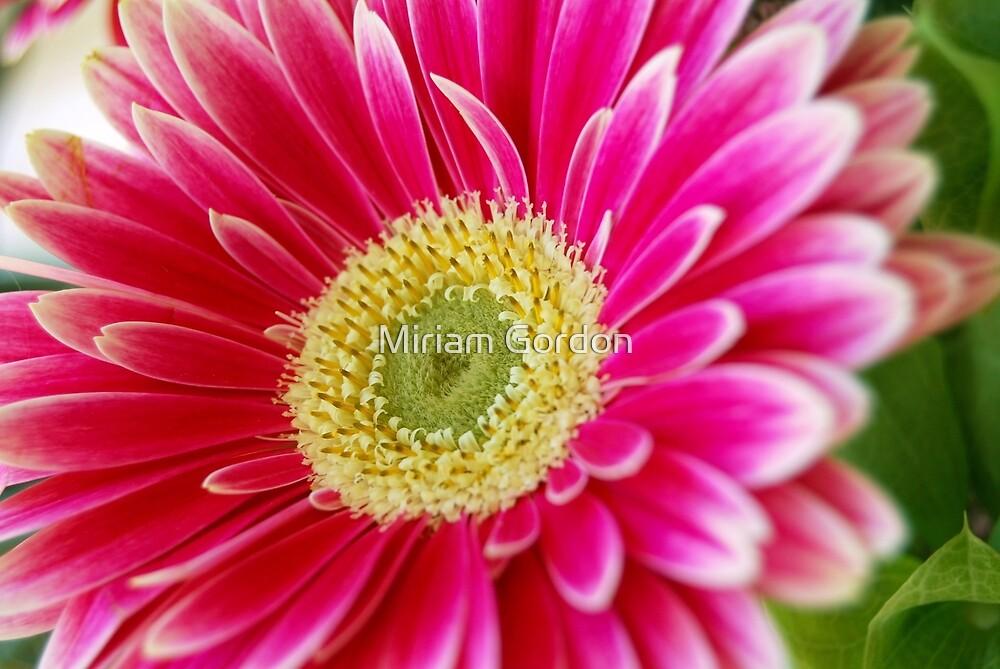 pink gerbera daisy by Miriam Gordon