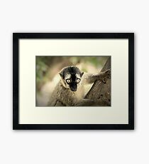 Lemur Portrait On Madagascar Island Framed Print