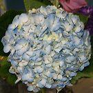 Hydrangea #1, La Mirada, CA USA by leih2008