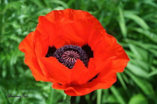 In Flanders Fields the Poppies Blow by SummerJade