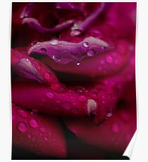 Rose after the rain   Poster