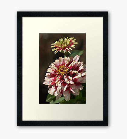 Mature White Zinnia Framed Print