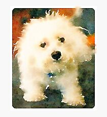 Shaggy Bichon Photographic Print