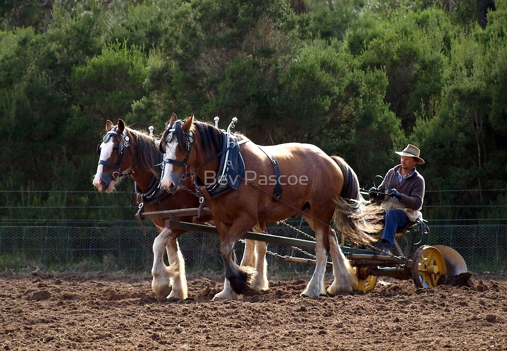 Two Clydesdales working in Sunshine by Bev Pascoe