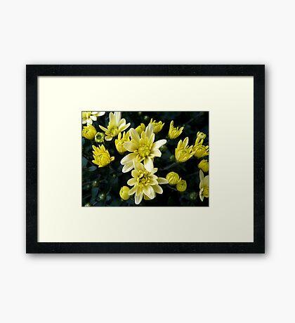 Rising stars - potted chrysanthemum Framed Print