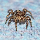 Jumping Spider on my counter by William Brennan