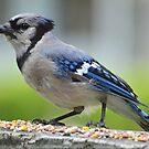 Blue Jay by William Brennan