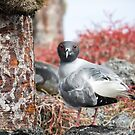 Curious lava gull by Michael Stiso