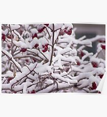 Snow On The Elderberries  Poster