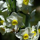 A Bee in Jonquils by Gabrielle  Lees