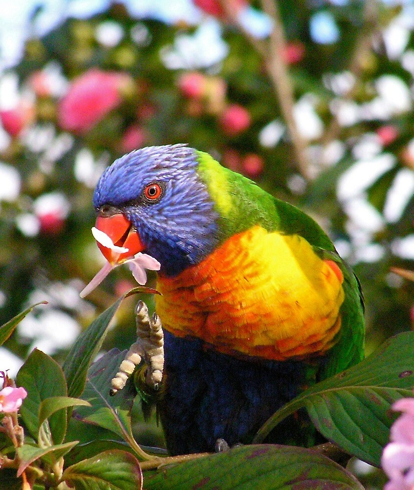 Rainbow Lorikeet With Flower by Margaret Saheed