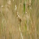 Reed Warbler by Sue Robinson