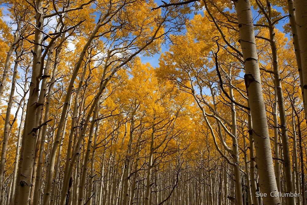 Aspens in Autumn by Sue  Cullumber