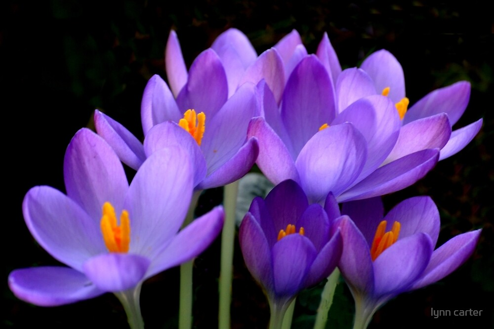 Crocus. Dorset UK by lynn carter