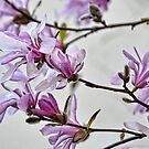 Magnolia by lynn carter